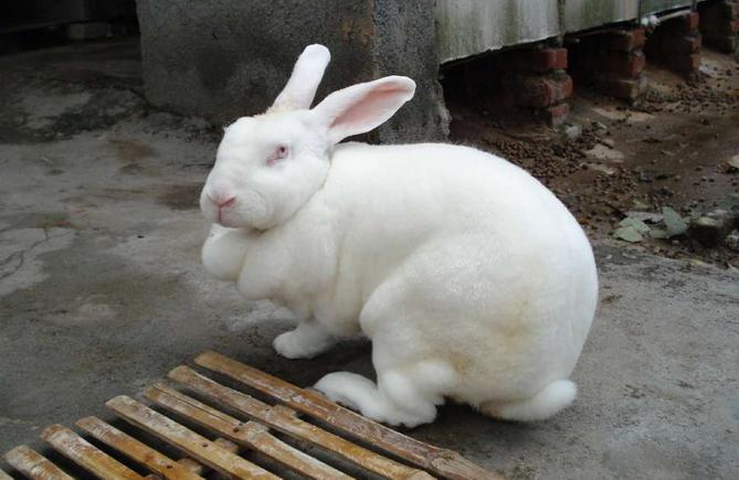 獭兔最新行情_2015年6月2日全国各地今日獭兔最新价格行情分析